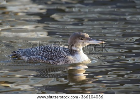 Great Northern Loon (Gavia immer) in winter plumage swimming in water