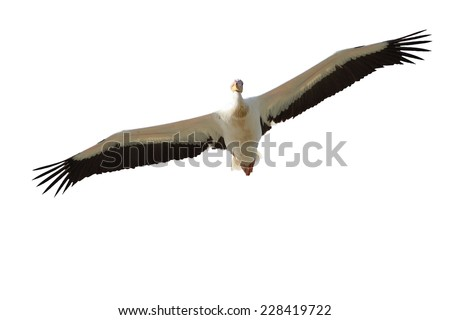 great pelican ( Pelecanus onocrotalus ) in flight, isolation over wnite background - stock photo