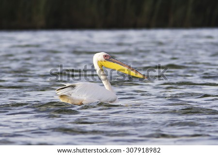 great pelican ( Pelecanus onocrotalus ) resting on water surface, Danube Delta, Romania - stock photo