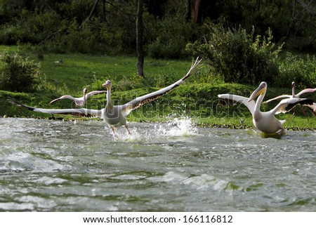 Great Pelicans takeoff from water with splash - stock photo