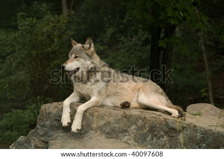 great plains wolf growling at something off camera while laying on a large flat rock in the sunshine - stock photo