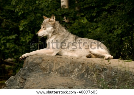 great plains wolf lounging on a large flat rock in the sunshine - stock photo