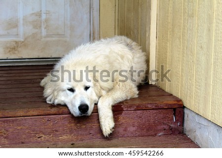 Great Pyrenees sheep dog on an old dirty porch.
