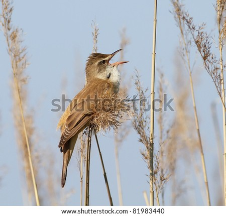 Great Reed-Warbler singing on the reed - stock photo