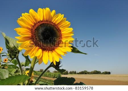 Great single sunflower with deep blue sky - stock photo