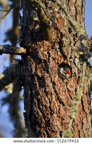 Great Spotted Woodpecker at nest-hole site  - stock photo