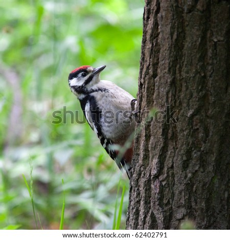 Great spotted woodpecker (Dendrocopos major) in the Park. Young bird - stock photo