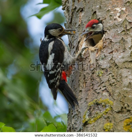 Great spotted woodpecker feeding his chicken  - stock photo