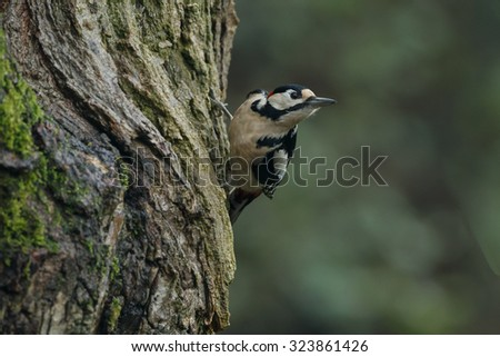 Great spotted woodpecker in nice sunlight - stock photo