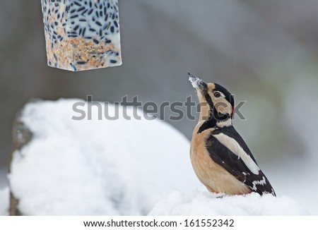 Great Spotted Woodpecker in wintertime, looking at bird feeder - stock photo