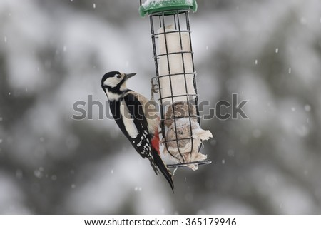 Great spotted woodpecker on a feeder