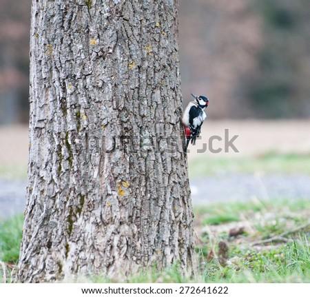 great spotted woodpecker on a walnut tree - stock photo