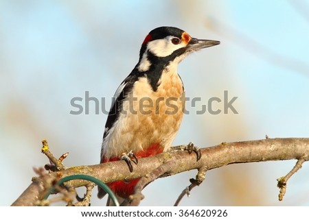 great spotted woodpecker on branch ( Dendrocopos major ) - stock photo