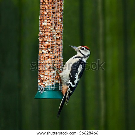 Great Spotted Woodpecker on feeder - stock photo