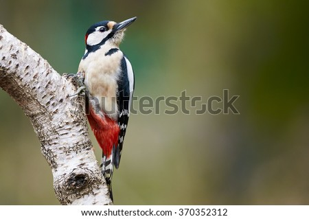Great spotted Woodpecker perched on a birch branch photographed horizontally - stock photo