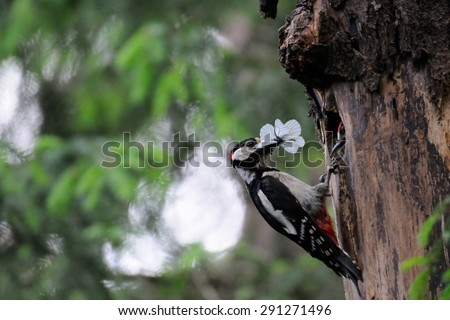 Great Spotted Woodpecker with butterfly near the nest hollow - stock photo