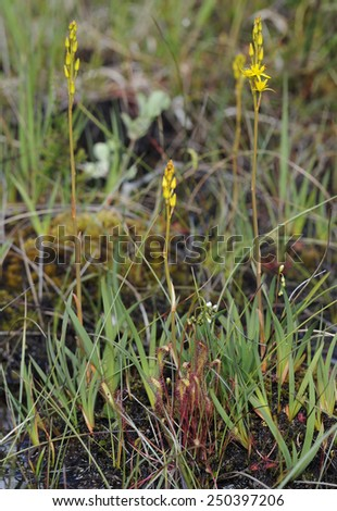 Great Sundew - Drosera anglica, with Bog Asphodel - Narthecium ossifragum, and Round-leaved Sundew - Drosera rotundifolia - stock photo