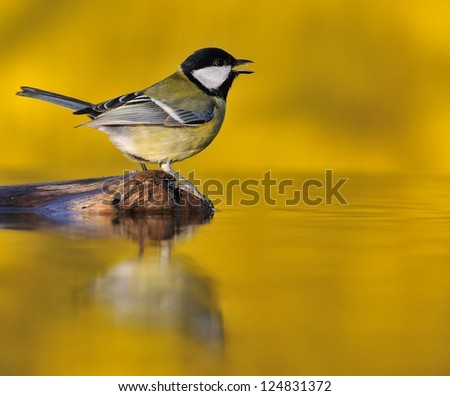 Great tit at sunset on yellow background. - stock photo