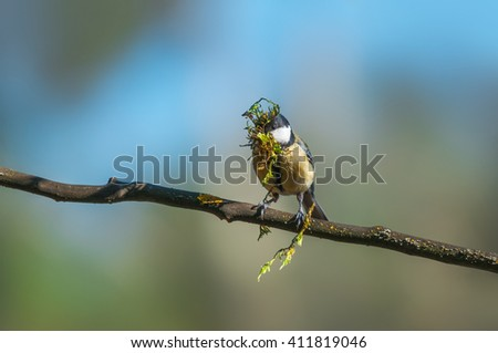 Great tit carrying building material for its nest - stock photo