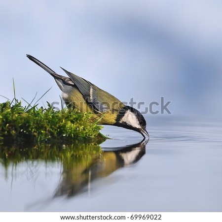 Great tit drinking water from the shore. - stock photo