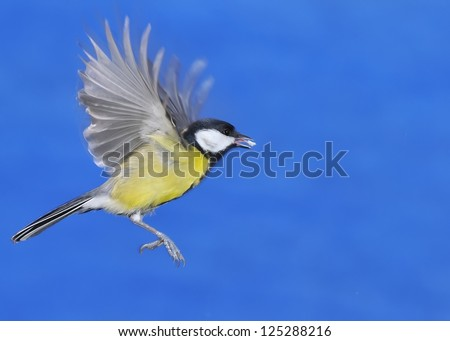 Great tit eating in flight with blue background. - stock photo