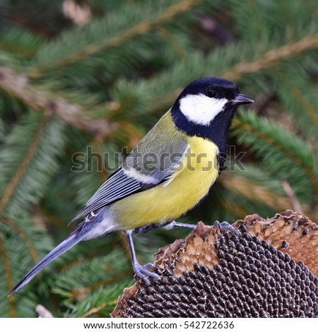 great tit in close up photography