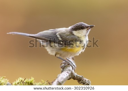 great tit in detail - stock photo