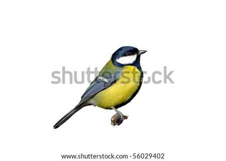Great tit,  isolated - stock photo