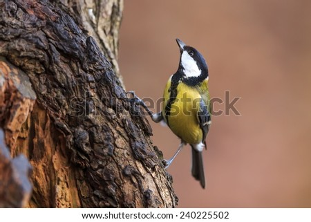 great tit looking up to the tree - stock photo