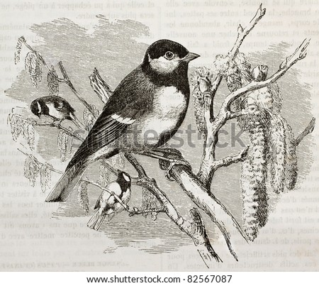 Great Tit old illustration (Parus major). Created by Kretschmer and Wendt, published on Merveilles de la Nature, Bailliere et fils, Paris, 1878 - stock photo