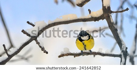 Great tit on a snowy branch in morning time - stock photo