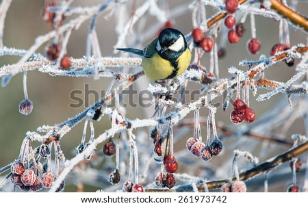 Great tit on an icy ornamental apple tree branch - stock photo