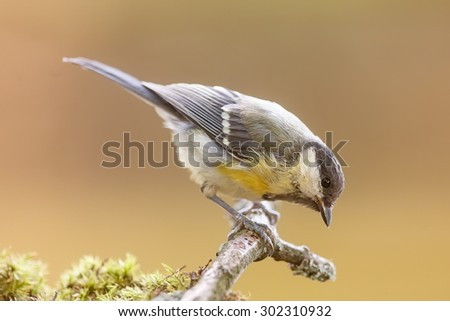 great tit on the small branch - stock photo