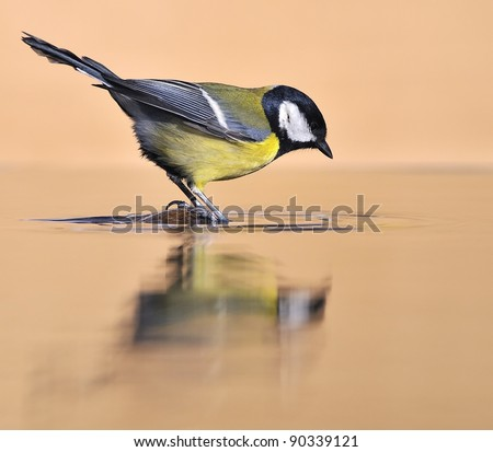 Great tit on the water. - stock photo
