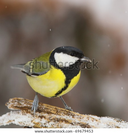 Great tit (Parus major) face to face, on a snowy branch, in snowfall