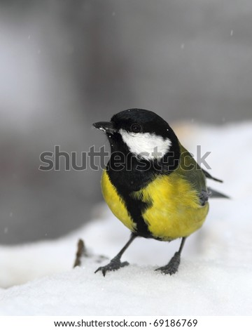 Great tit (Parus major) face to face,  stand in snow - stock photo