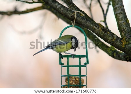 great tit ( parus major ) looking at fat feeder - stock photo