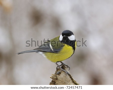 Great tit (Parus major) on a dry branch - stock photo
