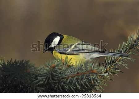 Great tit (Parus major) on a fir branch 2. - stock photo
