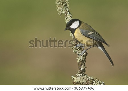 Great Tit (Parus Major) perched on Lichen Twig