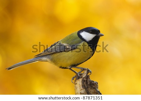 Great tit (Parus major) with autumnal background - stock photo