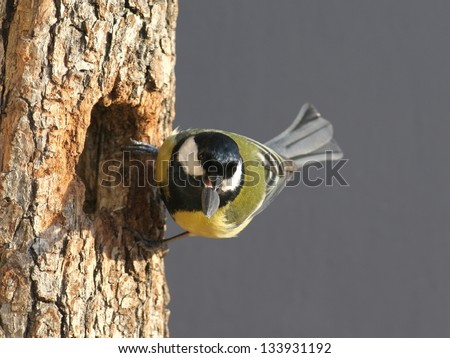 Great tit, perched in front of its hollow, with a seed in bill - stock photo