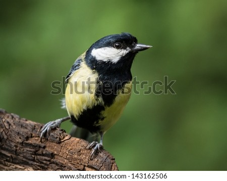 Great tit perched on a branch looking to the right - stock photo