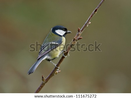 Great tit perched on a tree branch. - stock photo