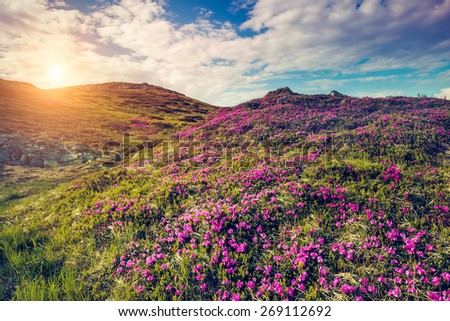Great view of the magic pink rhododendron flowers on hill. Dramatic scene. White cumulus clouds. Carpathian, Ukraine, Europe. Beauty world. Retro style, vintage soft filter. Instagram toning effect. - stock photo