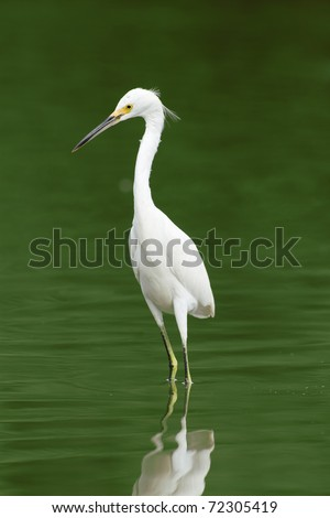 GREAT WHITE EGRET AGAINST GREEN WATERS  - stock photo