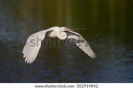 Great white egret carries stick to nest  - stock photo