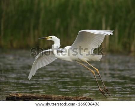 great white egret, Casmerodius albus - stock photo