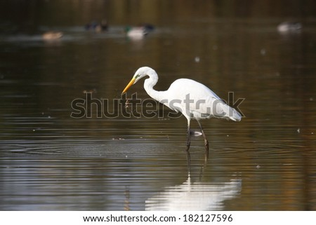 Great White Egret Egretta alba ardeide bird hunting in the marsh aquatic fish and shellfish wildlife oasis of Torrile lipu parma Emilia Romagna - stock photo