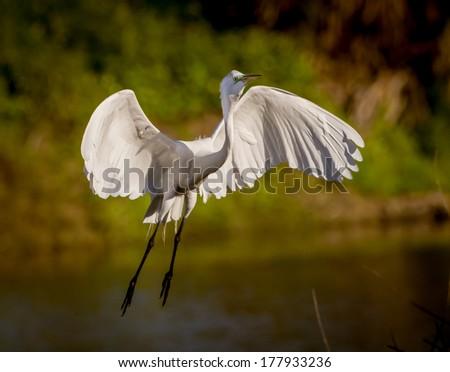 Great white egret flies in for landing in morning - stock photo